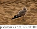 海灘 海鳥 鳥兒 39988109