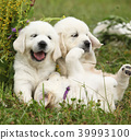 Three puppies of golden retriever playing 39993100