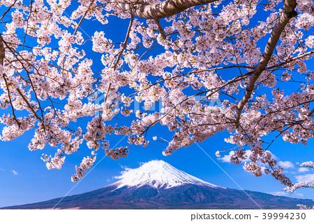 富士山 櫻花 櫻 39994230