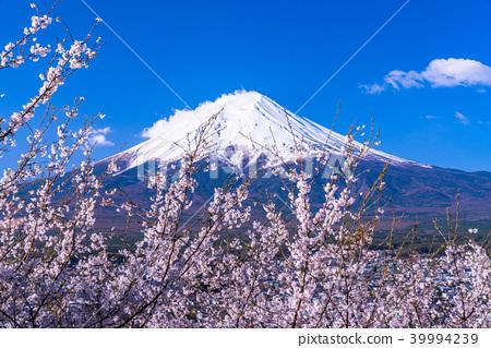 """""""山梨縣""""富士山和櫻花盛開 39994239"""