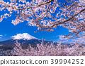 """""""山梨縣""""富士山和櫻花盛開 39994252"""