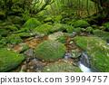 白谷雲水峡 苔藓 沼泽 39994757