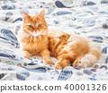 cat, pet, animal 40001326