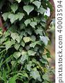 常春藤 葉 樹葉 40003594