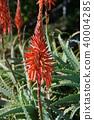 알로에, 꽃, 플라워 40004285