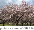 double-flowered cherry tree, double cherry blossoms, bloom 40004334