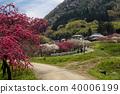 hana peach, spring, bloom 40006199