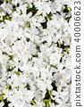식물, 꽃, 플라워 40006623