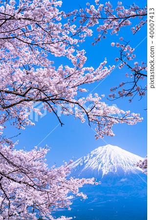 富士山 櫻花 櫻 40007413