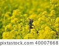 유채 꽃과 직박구리 40007668