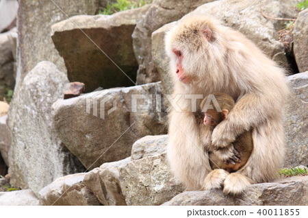 Parent and child of Japanese monkey 40011855
