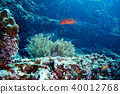 Coral Grouper 40012768