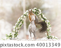 red squirrel on an horse under flower garland 40013349