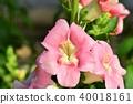 금어초, 현삼과, 꽃 40018161