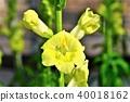 금어초, 현삼과, 꽃 40018162