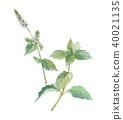 mint, peppermint, japanese 40021135