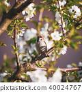 sparrow, bird, avian 40024767