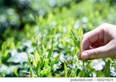 茶場茶葉新鮮的葉子手工採摘的早晨圖像 40024924