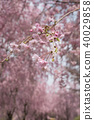 weeping cherry, spring, cherry blossom 40029858