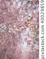 Weeping cherry blossoms on the hill of Hitachi Kozuki 40029859
