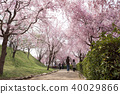 Weeping cherry blossoms on the hill of Hitachi Kozuki 40029866