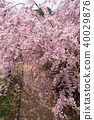 weeping cherry, spring, cherry blossom 40029876