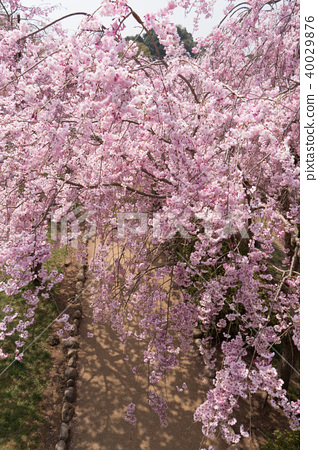 Weeping cherry blossoms on the hill of Hitachi Kozuki 40029876