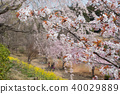Weeping cherry blossoms on the hill of Hitachi Kozuki 40029889