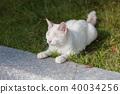 cat, pussy, white cat 40034256
