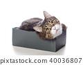 고양이, 새끼, 상자 40036807