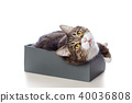 Beautiful gray cat lying in a box 40036808