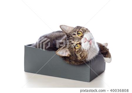 Beautiful gray cat lying in a box 40036808