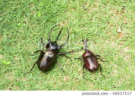 Beetle and caucasus beetle 40037317