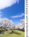 郡山最大的Kaiseiyama公園春天有1,260棵櫻花,春天的喜悅和歷史來自日本最古老的年級Somei Yoshino 40043499