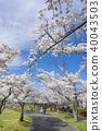 郡山市民可以在上學時享受盛開的櫻花,放鬆一下。福島縣的Kaiseiyama公園,是改變情緒和步行的理想選擇 40043503
