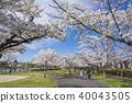 ดอกซากุระบาน,ซากุระบาน,ดอกไม้ 40043505