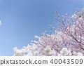 ดอกซากุระบาน,ซากุระบาน,ดอกไม้ 40043509
