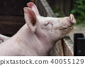 portrait of pig in a farm 40055129