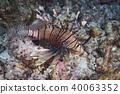 Lion fish 40063352