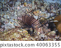 Lion fish 40063355