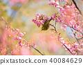 Toi Sakura和White-eye 40084629