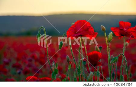 vivid red poppy field at sunset 40084704
