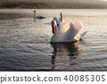 在山中湖的天鵝 40085305
