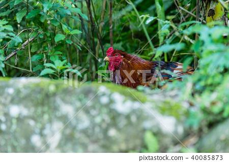山野外的母雞 Chicken 野生の雌鶏 Hen 動物 animal 野生母雞 躲藏在石頭後面的母雞 40085873