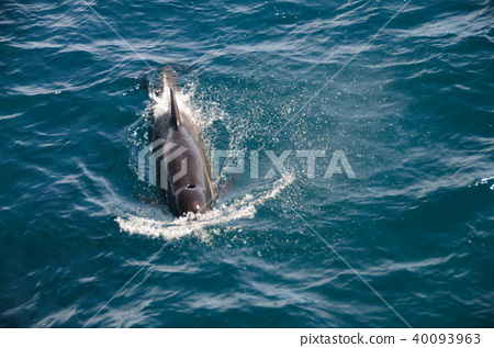 Long-finned Pilot Whales 40093963