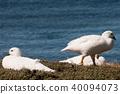 Kelp Geese 40094073