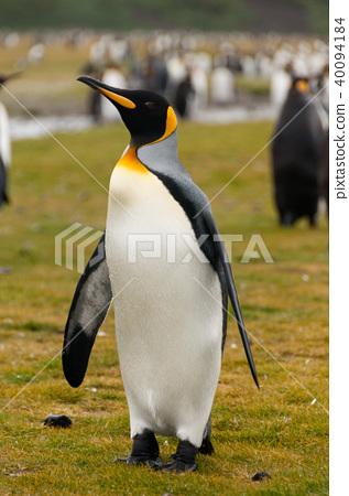 King Penguins on Salisbury plains 40094184