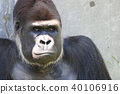 大猩猩 類人猿 猭 40106916