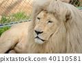 white lion portrait 40110581