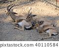 Gazella dorcas family resting in the shadow 40110584
